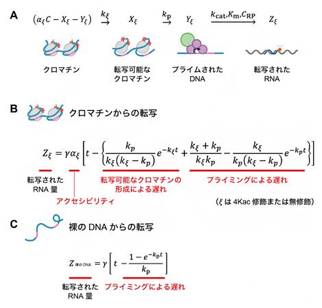 クロマチンからの転写反応の速度論モデルの図