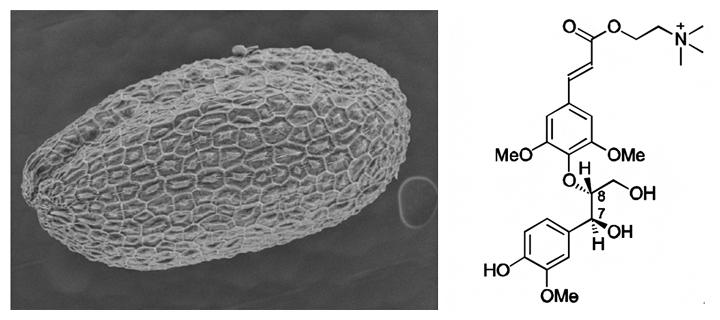 シロイヌナズナの種子の走査電子顕微鏡写真(左)と本研究で決定したネオリグナンの構造(右)の図