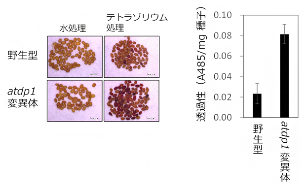 ネオリグナンが減少した種子では外来異物が透過しやすくなるの図