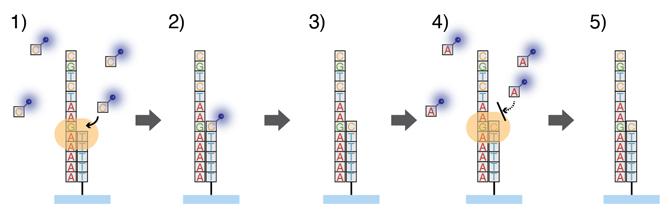 DNAポリメラーゼによる1分子シーケンス反応の図