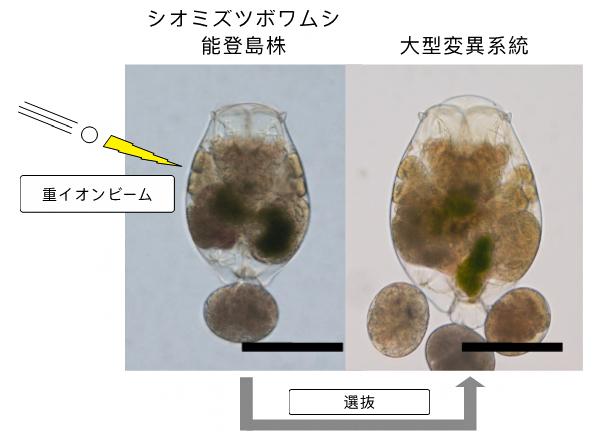 シオミズツボワムシの能登島株と大型変異系統の比較の図