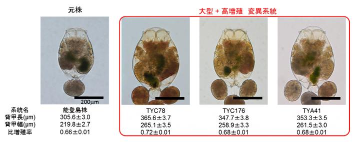 実用化を目指す大型でかつ高増殖のワムシ系統の図