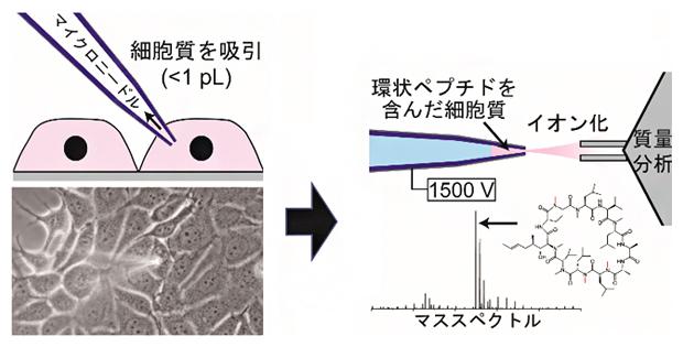 1個の細胞から細胞質のみ抜き取り、環状ペプチドの膜透過性と細胞内濃度を高感度に測定の図