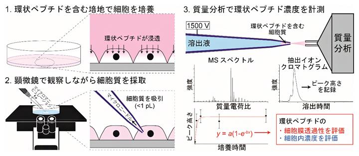 SCC-MS法を用いた細胞内環状ペプチドの計測と細胞膜透過性評価方法の図