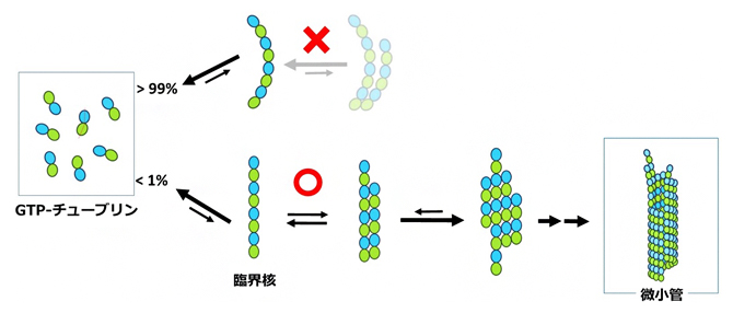 ごく少数の直線状チューブリンオリゴマーだけが、微小管になることができるの図