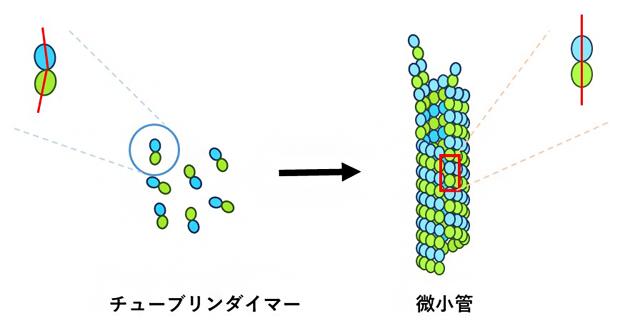チューブリンダイマーと微小管の構造の図