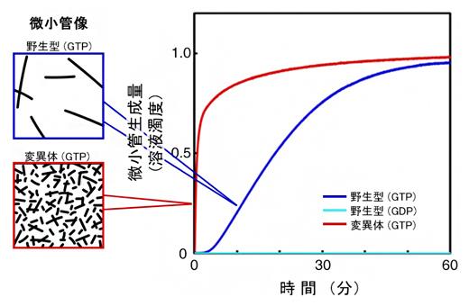 微小管の生成速度の図