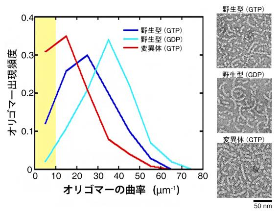 チューブリンオリゴマーの曲率(左)と電子顕微鏡画像(右)の図
