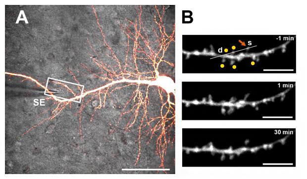 スパインクラスターの学習シグナルの刺激による近隣シナプス強度変化の解析の図