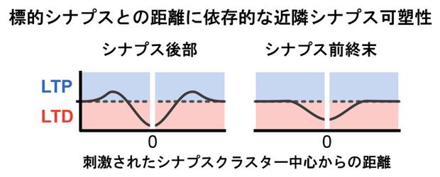 標的シナプスクラスターとの距離間に依存的な近隣シナプス可塑性の図