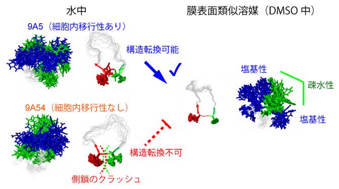 細胞内移行性を決定する環状ペプチドの構造転換