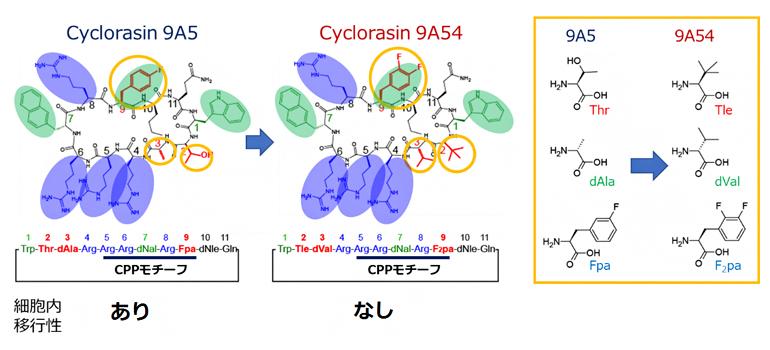 図1 解析に用いた細胞内移行性の異なるCyclorasinペプチド