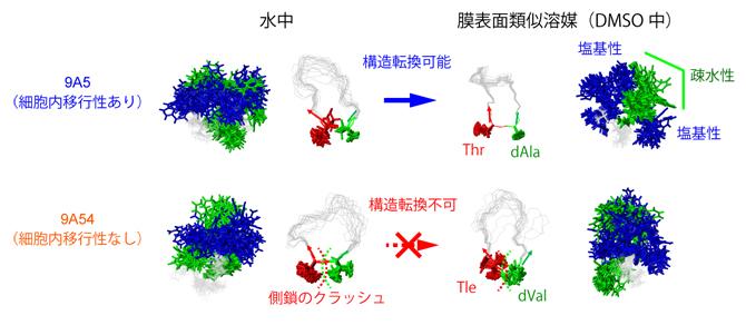 図2 細胞内移行性を決定する環状ペプチドの構造転換