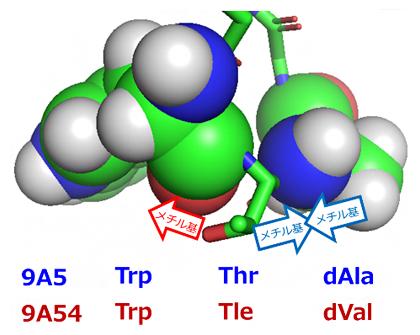 図3 細胞内移行性を示す9A5のターン構造