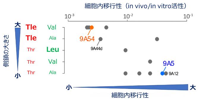図4 側鎖の大きさが決める構造的な柔軟性と細胞内移行性