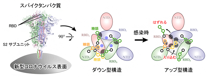 新型コロナウイルス表面に存在するスパイクタンパク質の構造変化機構の図