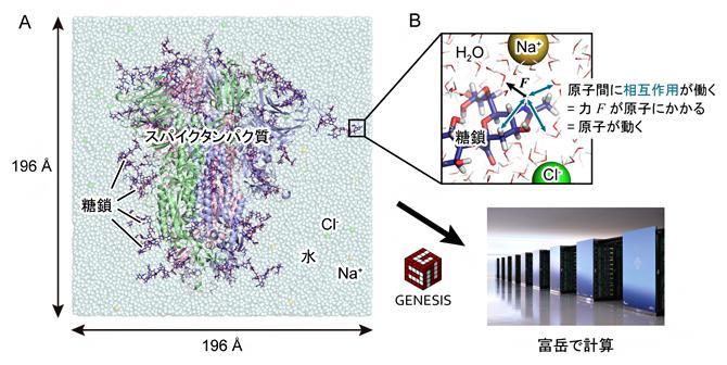 GENESISと「富岳」を用いたSARS-CoV-2スパイクタンパク質のシミュレーションの図