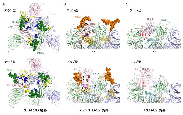 スパイクタンパク質中のアミノ酸-アミノ酸およびアミノ酸-糖鎖相互作用の図
