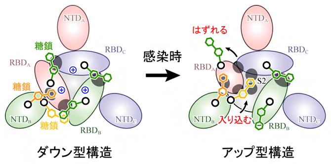 スパイクタンパク質の構造変化のメカニズムの図