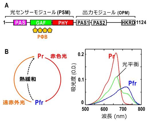 フィトクロムAの機能ドメイン配置と光反応の図