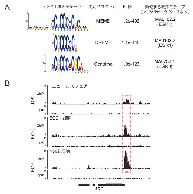 LDB2抗体によるChIP-seq解析の図