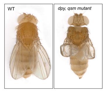 正常型ショウジョウバエ(左)と腱と翅の形成が正常に進まないdumpy, qsm二重変異体の図