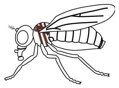 ショウジョウバエの間接飛翔筋の図