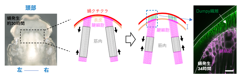 間接飛翔筋に接続する腱構造の発達の図