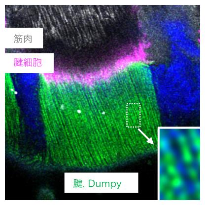Dumpy繊維の周期的配列構造の図