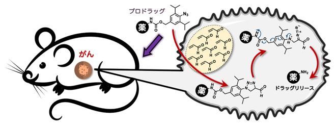 アジド-アクロレイン環化付加反応により、マウスのがん組織で抗がん活性分子を放出するの図