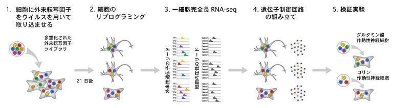 本研究で開発した一細胞解析から外来転写因子を定量する手法の図