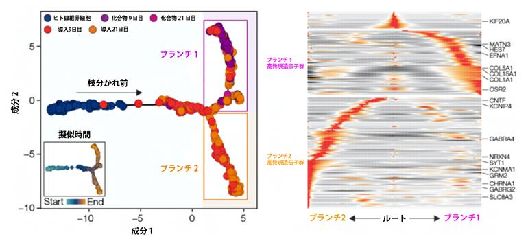 二つに枝分かれした細胞の分化過程の図