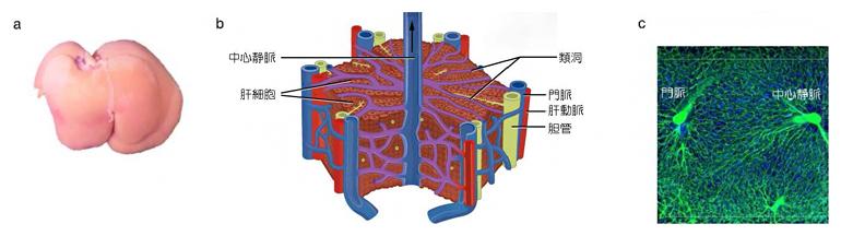 肝臓と肝小葉の構造、類洞の配置の図
