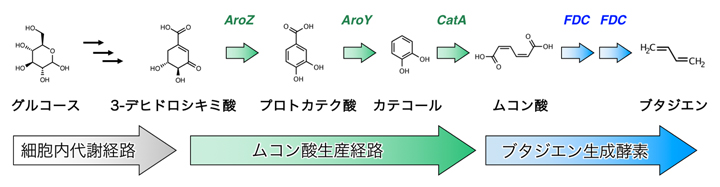 新しい1,3-ブタジエン合成経路の図