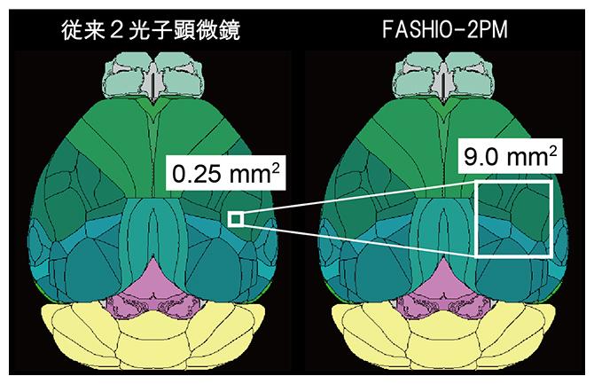 マウス脳における従来の2光子顕微鏡とFASHIO-2PMで観察できる視野の比較の図
