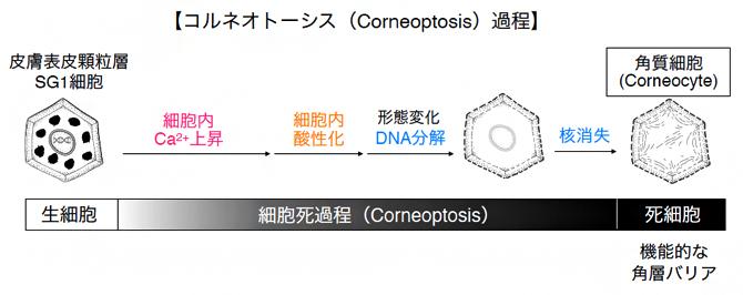 顆粒層SG1細胞の細胞死(Corneoptosis)過程で酸性化が起きるの図