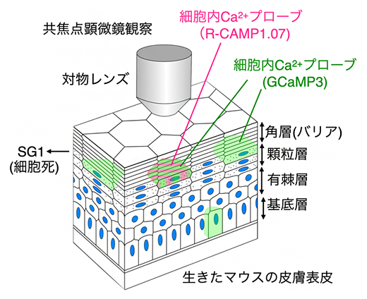本研究で開発した表皮観察用のライブイメージング法の図