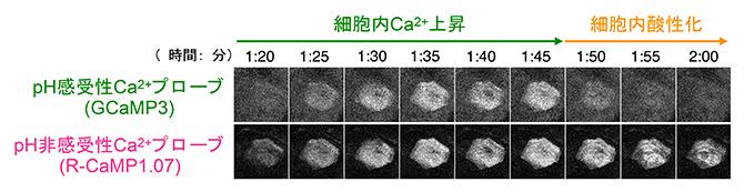 ライブイメージングによる細胞内の変化の図
