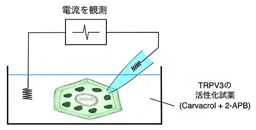 マウス顆粒層SG1細胞の電流測定の図
