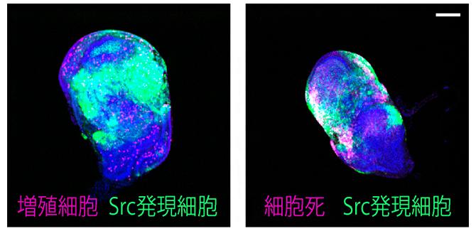 がん遺伝子Srcによって同時に引き起こされる細胞増殖と細胞死の図