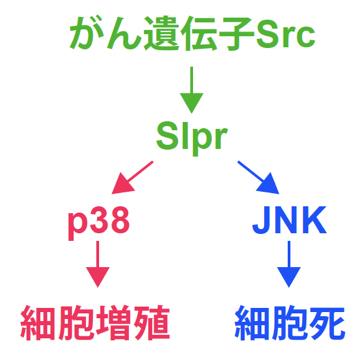 がん遺伝子Srcによる並列モデルの図