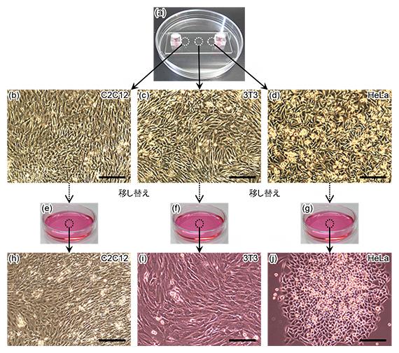 マイクロ流路内からの細胞の取り出しの図