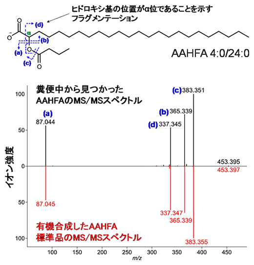 新しい腸内細菌脂質AAHFAのMS/MSスペクトルと分子構造の図