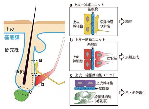 基底膜が異なる組織の間のインターフェースを形成の図