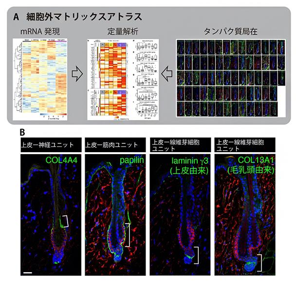 毛包の細胞外マトリックスアトラスの図