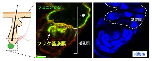 上皮と毛乳頭をつなぐフック基底膜の発見の図