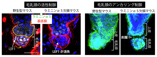 フック基底膜による毛乳頭の活性制御(左)と上皮へのアンカリング(係留)制御の図