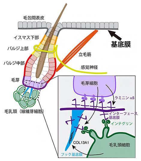 基底膜による多様な組織間インターフェースの形成の図