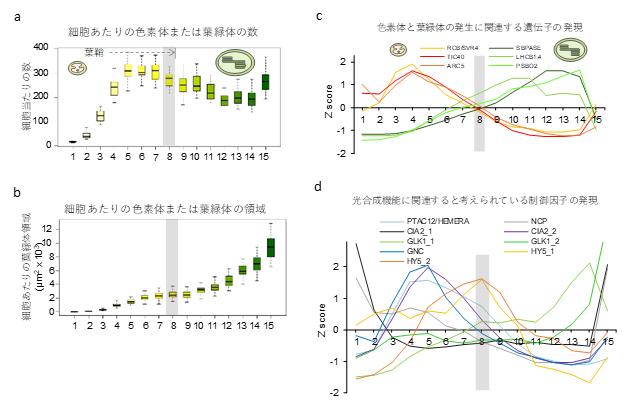 コムギの葉の発生過程における細胞と遺伝子発現の変化の図