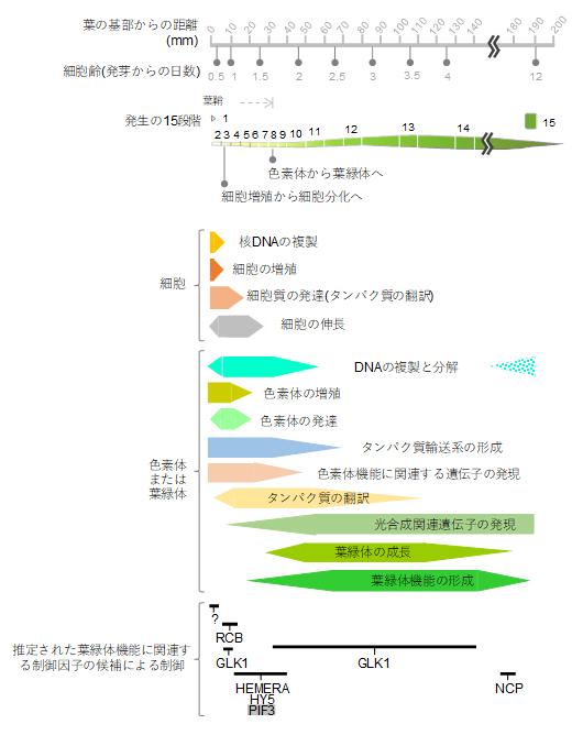 本研究で明らかになったコムギの葉の発生過程における細胞内の変化の図